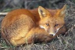 red-fox-sleeping